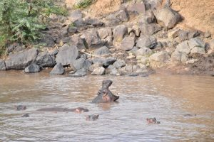 Nijlpaarden mara river